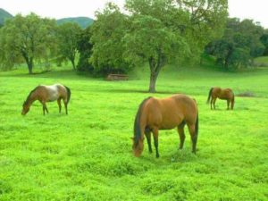 cheval herbe printemps